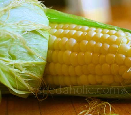 Sweetcorn F1 Wagtail is the latest introduction from the Tendersweet breeding programme.