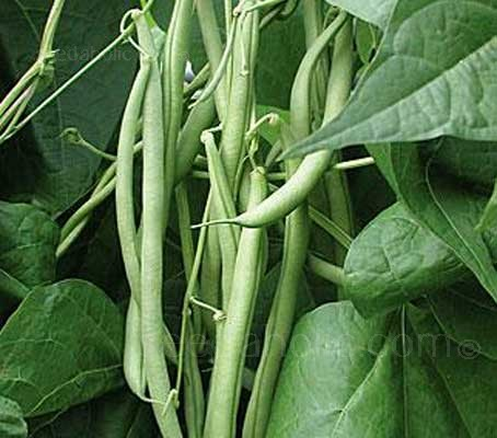 Early cropping Climbing Bean 'Fasold' bears decorative mauve flowers followed by huge harvests of superb flavoured French Beans.