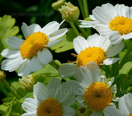 Feverfew a garden favourite. White petals with yellow centres accent the green serrated leaves of this plant.