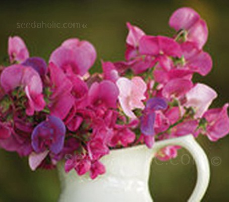 This everlasting or perennial sweet pea bears delicate masses of blooms in pinks, soft whites and mauves.