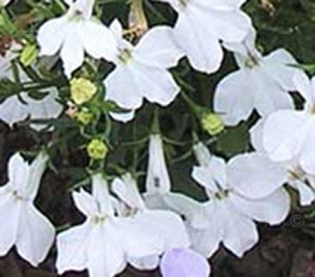 Lobelia erinus compacta 'White Lady' (Collection)