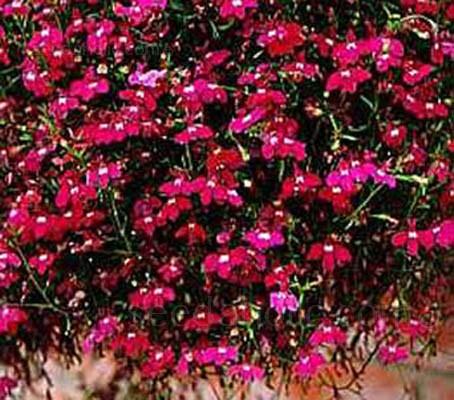 Lobelia erinus pendula 'Crimson Fountains'