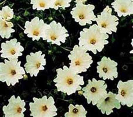 """Nolana paradoxa """"Snow Bird"""" Chilean Bell Flower (Collections)"""