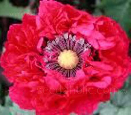Scarlet Peony 80mg ~200 Seeds