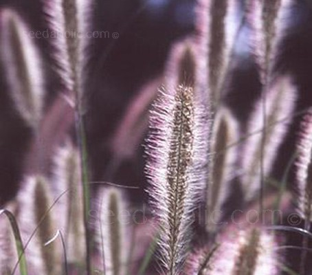 Pennisetum setaceum 'Ruepelii' (Collection)