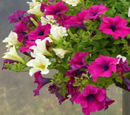 Petunia x hybrida 'F2 Colorama Mix'