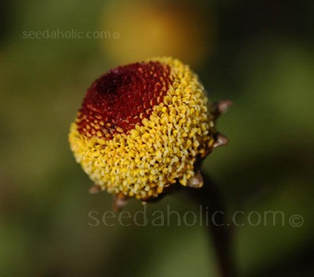 Spilanthes acmella is a unique and versatile plant that will add texture and interest to your garden.