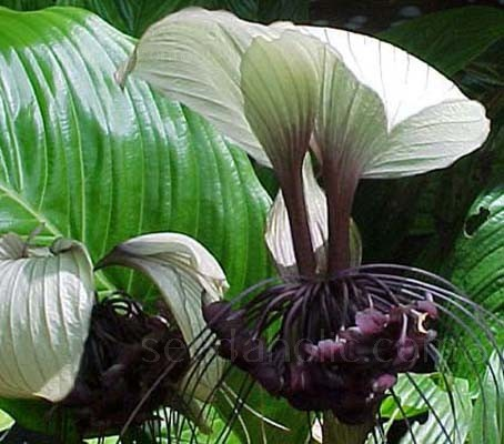 "The rare white form of the ever popular ""Bat Flower"" offers magnificent white, green veined blooms with long tentacles."
