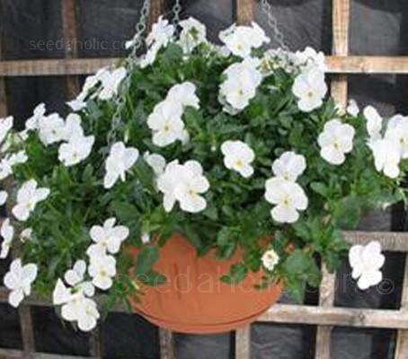 Viola cornuta 'F1 Tumbola White'