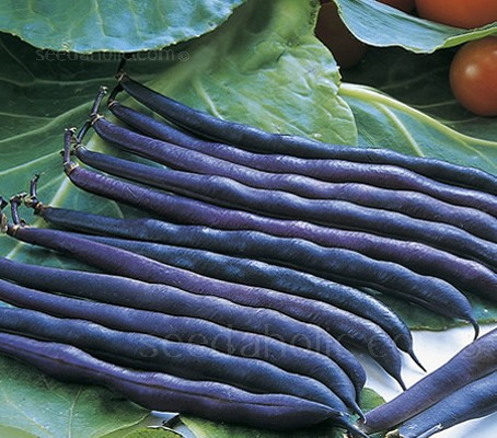 Bean: French Bean Dwarf 'Purple Queen'