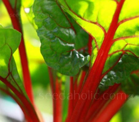 Worth growing for the colour alone, the striking deep green leaves with red veins are a beautiful addition to any garden.