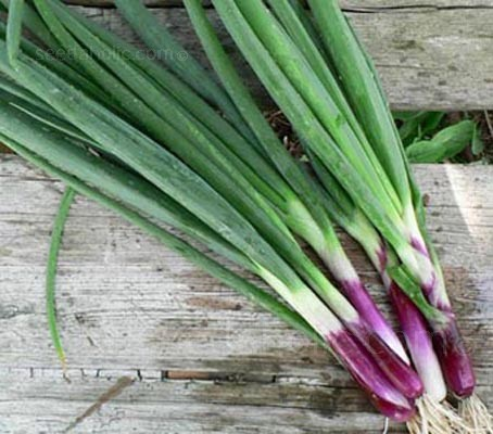 Onion, Welsh Red Stem