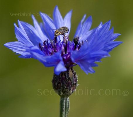 Centaurea cyanus (Collection)