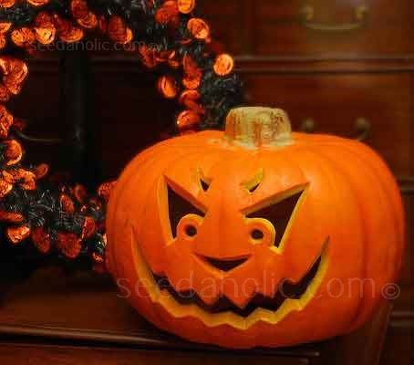 A long established favourite, especially bred for carving out Jack O Lanterns for Halloween.