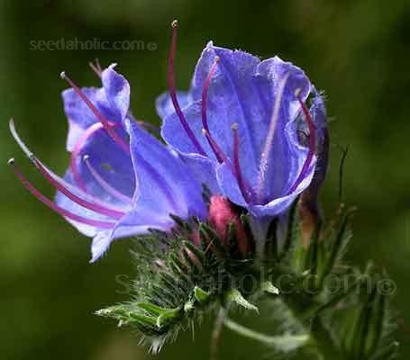 Echium vulgare 'Vipers Bugloss' (Collection)