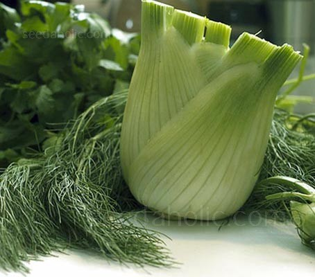 Zefa Fino is a superior strain of fennel that is ideal for cool climates and the best fennel for garden use.