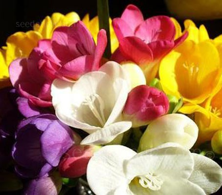 Freesia 'Royal Champion' produces plants with long, strong stems and large fragrant flowers.