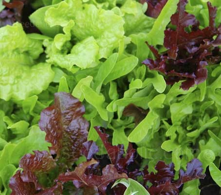 """Frilly Leaf Salad Mix"" is a new blend that contains an attractive blend of salads with frilled or indented leaves"