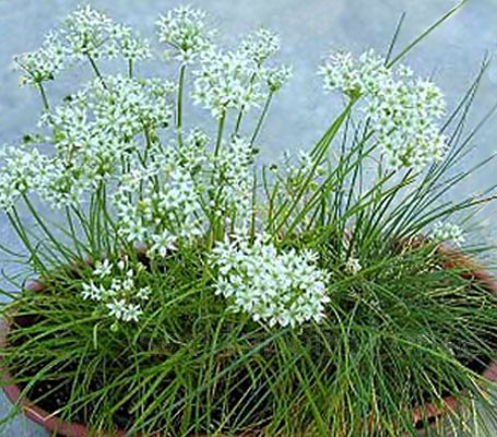 The flavour of garlic chives is more like garlic than chives, though much milder.