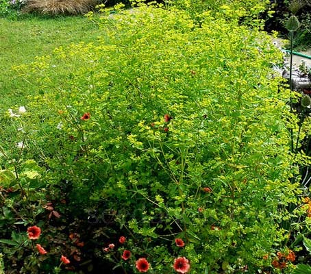 Euphorbia stricta 'Golden Foam' produces dazzling yellow flowers on massed wiry red stems.