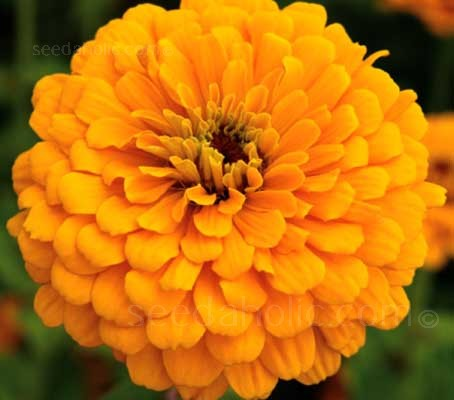 Zinnia elegans 'Golden State' feature large 10 to 12cm (4 to 5in) golden yellow blooms.
