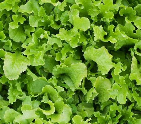 """Green Salad Bowl"" is a large fast growing rosette lettuce with long, light green, deep cut leaves."