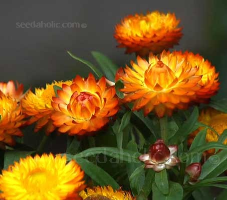 Helichrysum bracteatum is the most well known and is probably the best of all the everlasting flowers.