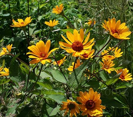 Heliopsis 'Summer Nights' produces rich, deep golden-yellow single flowers and deep mahogany centres.