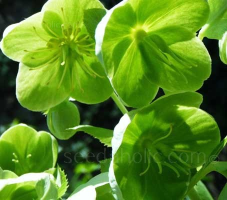 Helleborus viridis is a very demure plant, very early flowering with bunches of open, saucer-like flowers, of a startling bright green.