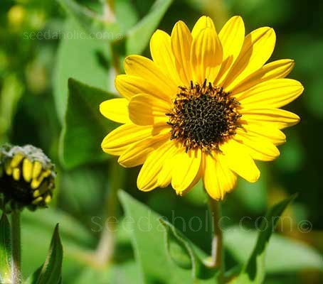 Helianthus mollis is an attractive plant, whether in or out of bloom.