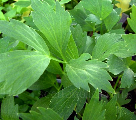 If you haven't cooked with Lovage before then you that you are missing out on a very flavourful herb.