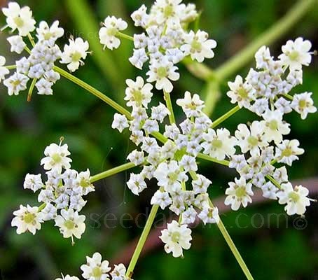 Looking a little like cow parsley but prettier and less brutish, Caraway is a widely used and incredibly useful plant.