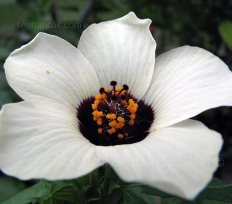 Hibiscus trionum 'Simply Love'