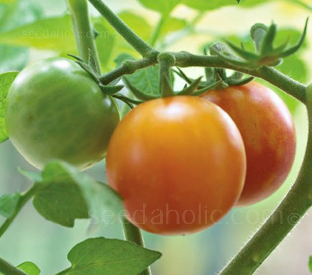 Tomato 'Isis Candy' (Collection)