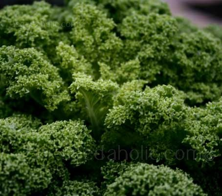 Kale 'Kapral' is a medium early variety with dark green leaves that are heavily blistered and very curly.