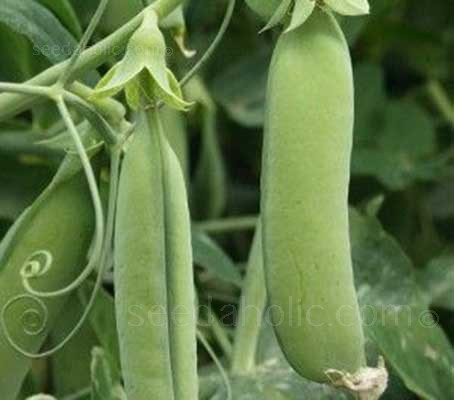 Pea 'Karina' is an excellent variety that produces an abundance of sweet flavoured peas over a long season.