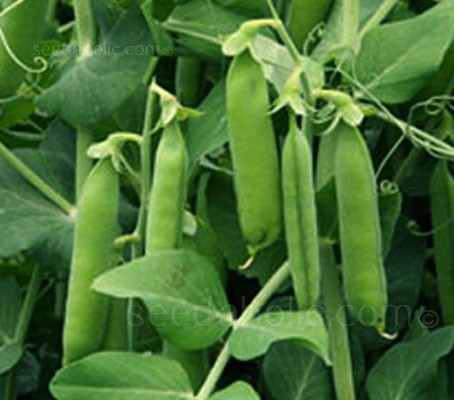 Kelvedon Wonder is a second early / maincrop pea variety that can be sown in succession from March to July.