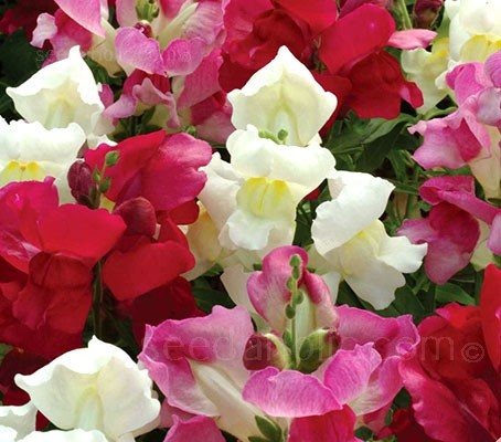 Antirrhinum majus 'Kimosy' is a lovely dwarf variety of Snapdragon with a tidy, compact habit.