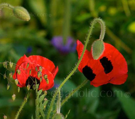 The large, brilliant, incandescent red, bowl-shaped flowers of the 'Ladybird' poppy appear in summer