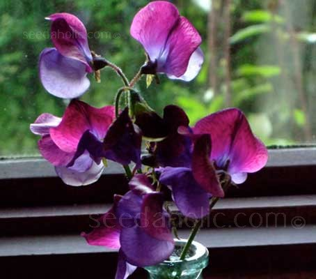 Sweet Pea 'Matucana' has brilliant bicoloured blooms of richest purple and violet.