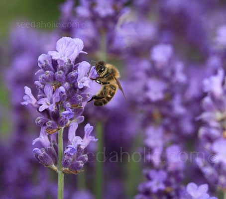 Also called True Lavender or Fine Lavender. The fragrant flowers have been used in perfumes, poultices and potpourris for centuries.
