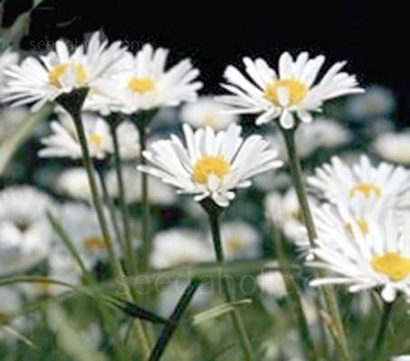 "Leucanthemum vulgare ""Ox-eye Daisy"" (Collection)"
