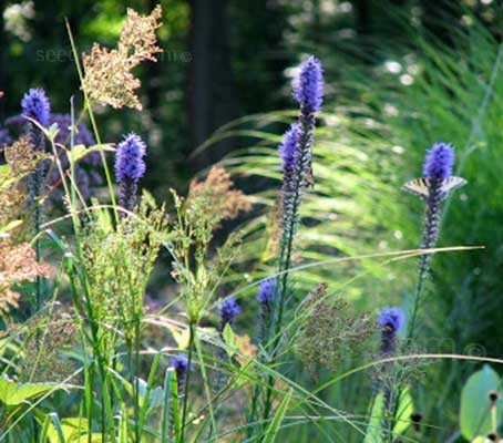 Liatris pycnostachya is an excellent species to plant in large sweeps in the naturalistic, prairie garden or meadow garden