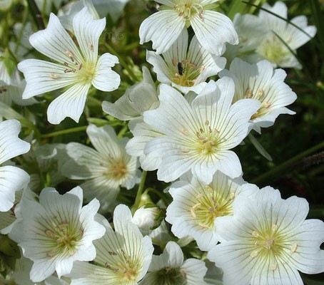 Limnanthes douglasii alba is a less common species of the popular yellow Poached Egg plant.