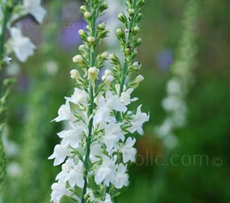 Linaria 'Springside White' is a delightful plant with tall spikes of startling white tiny flowers that resemble miniature snapdragons