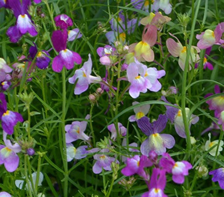 Linaria maroccana is one of the best ever, cheery and colourful of all garden plants.