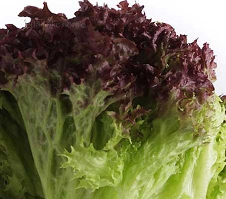 Red Lollo Rossa lettuce is a classic Italian lettuce, with dark copper red fading to bright green, finely crinkled frilly leaves