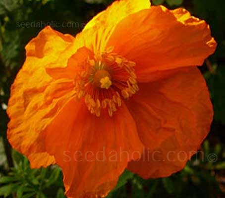 The Meconopsis genus contains some of the most exquisitely beautiful of all flowering plants.