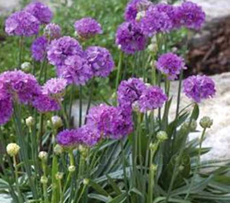 Armeria pseudarmeria is a durable perennial for most any sunny location.