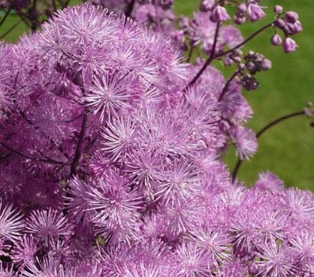 Thalictrum aquilegifolium 'Purpureum' produces up a superb array of flower stems,  topped by a hazy, fuzzy show of purple flowers.